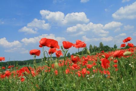 Poppyseed en kamille velden. Begin van de zomer in de Jura Krakow-Czestochowska, Polen. Stockfoto