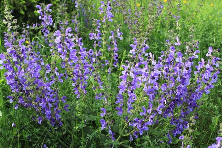 Meadow Sage (Salvia pratensis) - herbaceous perennial plant in Poland Stock Photo - 11552728
