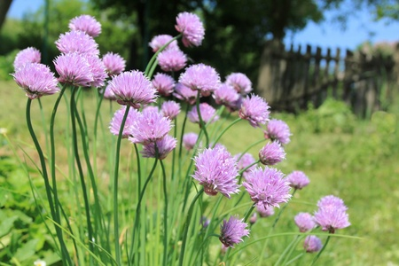 Chives (Allium schoenoprasum) - plant in Poland. European nature.