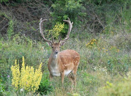 fallow deer: Wildlife in Europe - Fallow Deer (Dama dama) buck