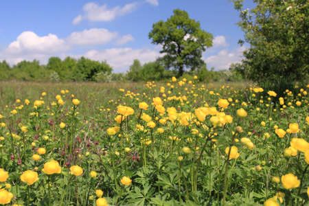 yellow wildflowers: Globeflower (Trollius) blooms in a meadow - nature in Poland