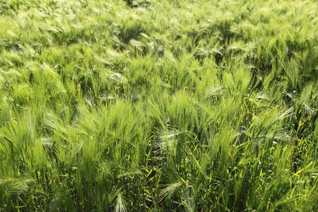 Beautiful agricultural background. Typical rural view -  barley fields. Stock Photo - 12955787