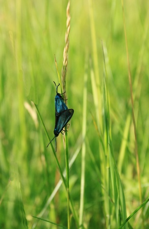 forester: Green forester moth (Adscita statices) copulating in the grass. Nature in Poland. Stock Photo