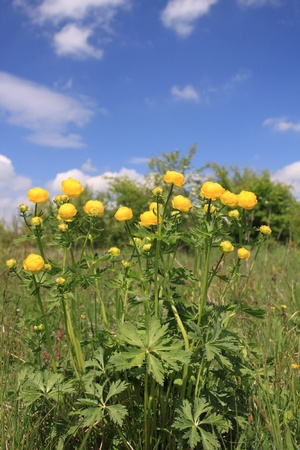 Flora in Poland - globeflower (Trollius) blooms in a meadow Stock Photo - 12955584