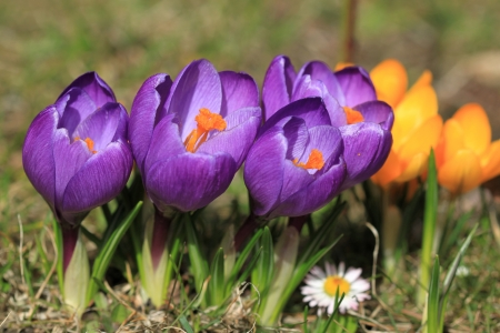 Crocus flower in Poland. Springtime flora in Europe.