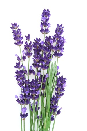 lavender flowers: Lavender flowers against white background. Isolated object. Stock Photo