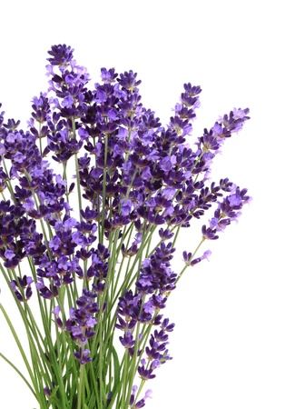 Lavender flowers against white background. Isolated object. photo