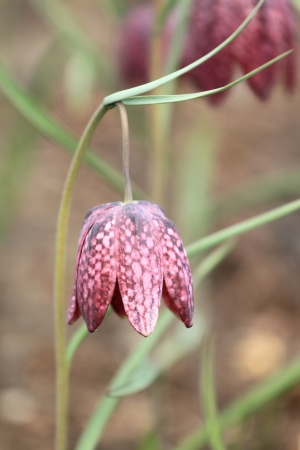 Fritillaria meleagris (Snakes Head Fritillary, Checkered Daffodil, Chess Flower) flower  photo