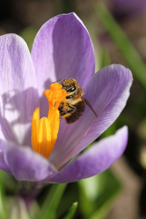 Honey bee in a crocus flower. Spring in Poland. photo