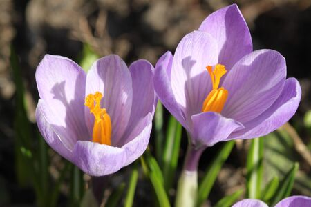 Crocus flower in Poland. Springtime flora in Europe. photo