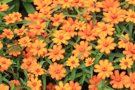 Beautiful blooming flowers orange color photo