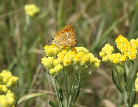 Immortelle - Helichrysum arenarium is also known as dwarf everlast with butterfly, Lycaena virgaureae .  photo