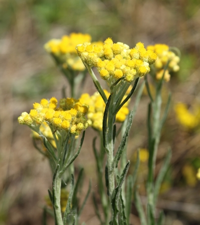 Immortelle - Helichrysum arenarium is also known as dwarf everlast
