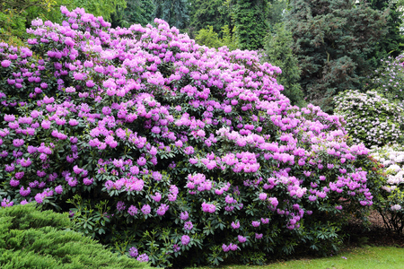 Beautiful Rhododendron Flower Bushes and Trees in a  Garden Landscape  Zdjęcie Seryjne