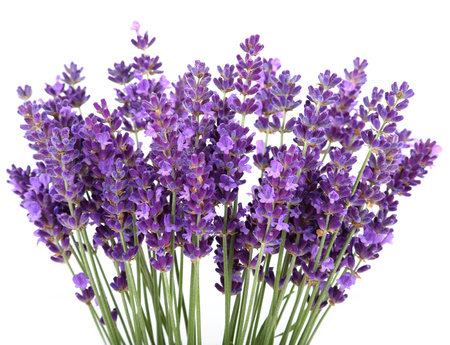 Bunch of lavender on a white background 스톡 콘텐츠