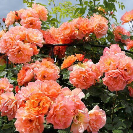 rose bush: Bush of beautiful pink and orange roses in the garden