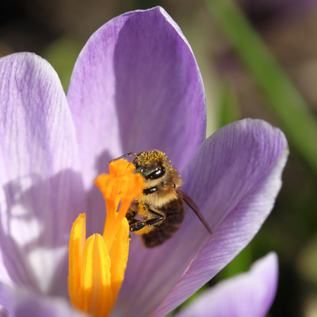 square composition: Honey bee in a crocus flower. Square composition. Stock Photo