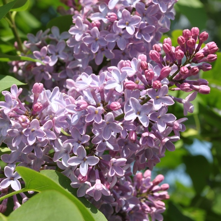 square composition: Green branch with spring lilac flowers.  Square composition. Stock Photo