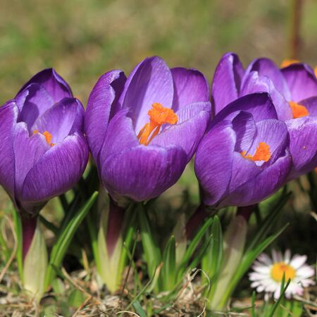 square composition: Crocus flower in Poland. Springtime flora in Europe. Square composition.