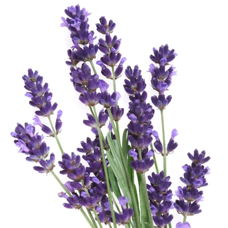 Lavender flowers against white background. Isolated object. Square composition. Foto de archivo