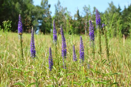 speedwell: Veronica spicata. Spikes of blue Speedwell on the meadow. Stock Photo