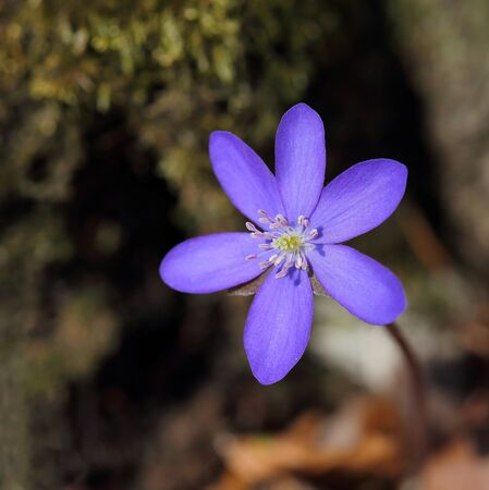 hepatica: Anemone hepatica blooming in the forest. Spring flowers Stock Photo