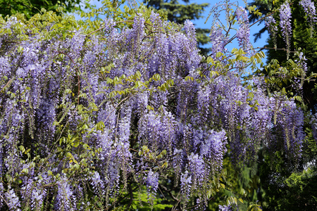 wisteria: Chinese wisteria bush blooming in the spring. Wisteria sinensis.