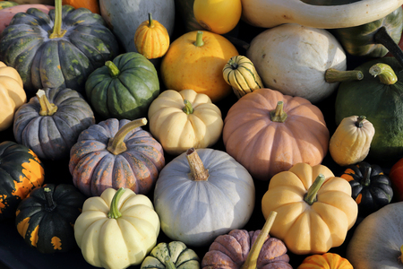 heirloom: Autumn harvest colorful squashes and pumpkins in different varieties.