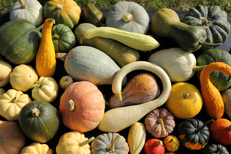 variety: Autumn harvest colorful squashes and pumpkins in different varieties.