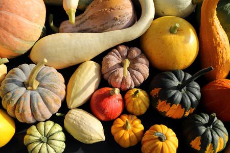 cucurbita: Autumn harvest colorful squashes and pumpkins in different varieties.