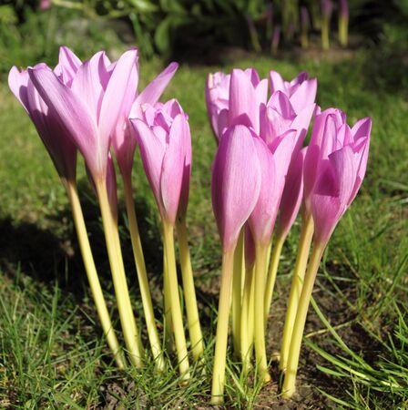 colchicum autumnale: Violet colchicum flower blossoms in autumn garden.