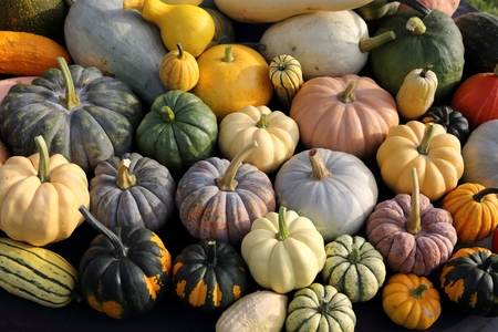 varieties: Autumn harvest colorful squashes and pumpkins in different varieties.