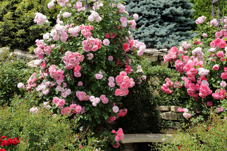 Bush of beautiful pink roses in the garden Stock Photo