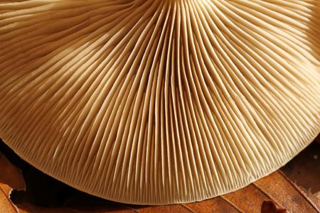 gills: Detail of gills on upside down mushroom.