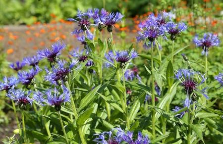 garden cornflowers: Beautiful blue cornflowers blooming in summer garden. Stock Photo