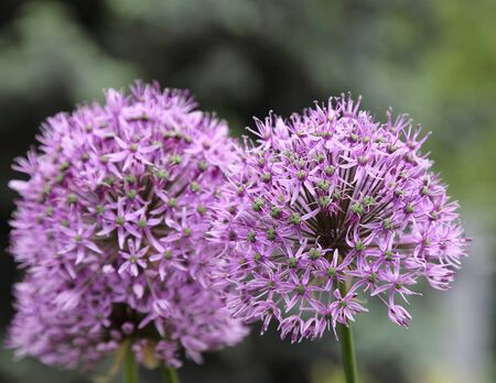 blooming  purple: Close up of an Alium Giganteum Flower Head