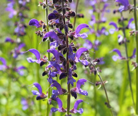 perennial plant: Meadow Sage (Salvia pratensis) - herbaceous perennial plant in Poland