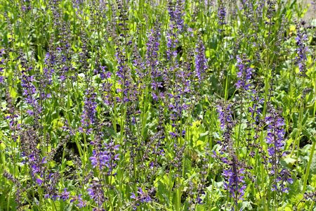 herbaceous: Meadow Sage (Salvia pratensis) - herbaceous perennial plant in Poland