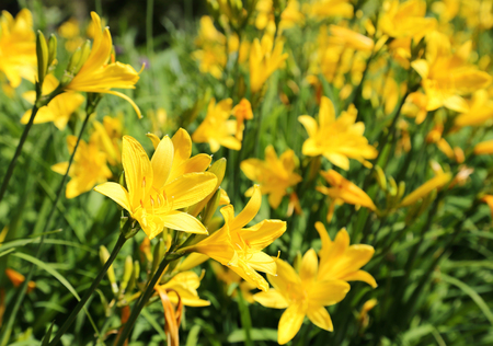 day lily: Yellow Day lily or Hemerocallis.