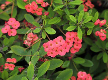 petites fleurs: Fleurs de Thorn usine de Christ, Euphorbia milii, var, splendens de Madagascar.