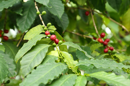 tree farming: Coffee tree with ripe berries.