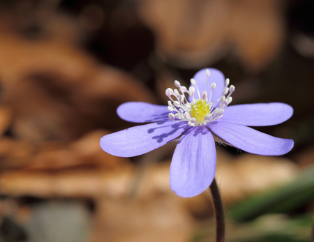 liverwort: Anemone hepatica blooming in the forest. Spring flowers.