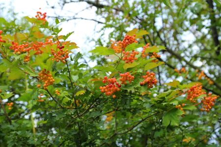trees seasonal: Fruit and leaves of viburnum opulus (european cranberrybush).