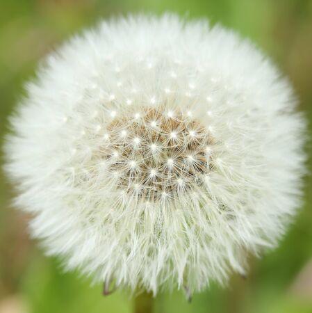 Taraxacum officinale. White dandelion on the green field closeup in summer.