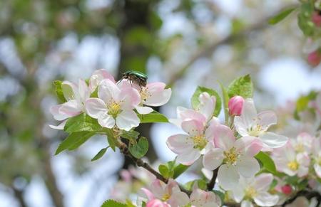 flores blancas y rosas en ramas de árbol de manzana.