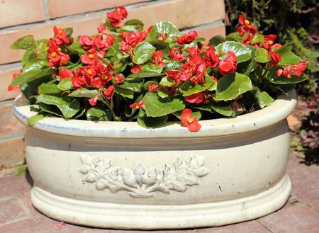 rustic: Begonia flowers in a rustic flower pot.