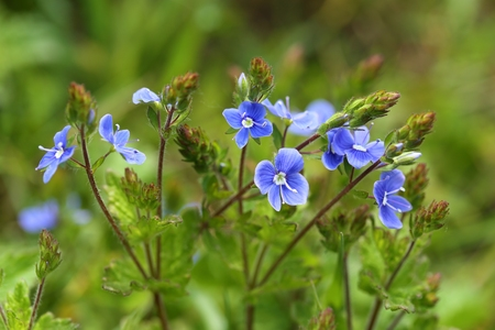 speedwell: Blue flowers birds-eye speedwell. Veronica chamaedrys. Stock Photo