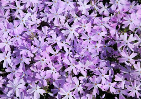 blooming  purple: Purple phlox subulata. Background of flowers phlox subulata.