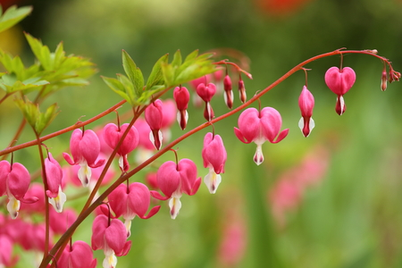 Lamprocapnos spectabilis. A flowering plant in the spring on a pink