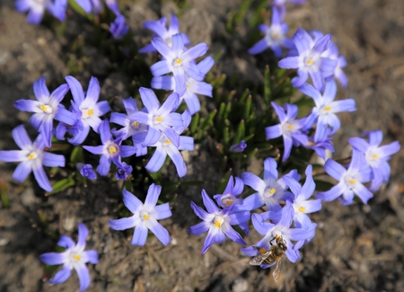 Chionodoxa, known as glory-of-the-snow. Spring flowers Stock Photo